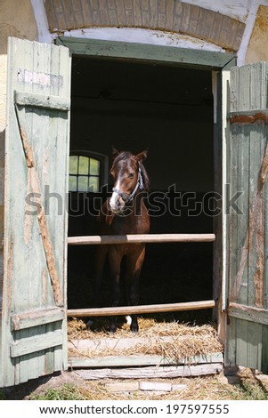 Nice thoroughbred youngster at stable door.Foal in the barn. - stock photo