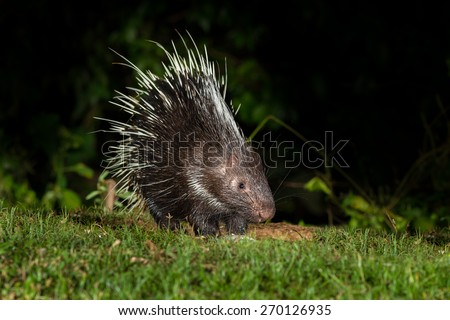 Nocturnal animals Malayan porcupine(Hystrix brachyura) in nature at Kaengkracharn national park,Thailand - stock photo