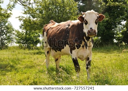 Norman cow  in meadows
