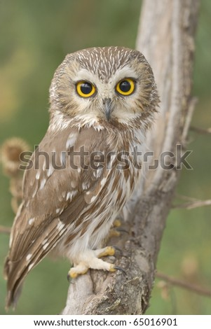 Northern Saw-whet owl, one of smallest owls, perching in the wild.Made with shallow depth of field on purpose. Latin name - Aegolius acadicus. - stock photo
