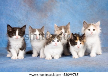 6 Norwegian Forest Cat kittens sitting in a row, on blue mottle background fabric