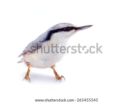 nuthatch Sitta europaea on a white background - stock photo