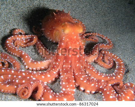 """Octopus Macropus"" on the sand. Shot in the wild, nighttime. - stock photo"