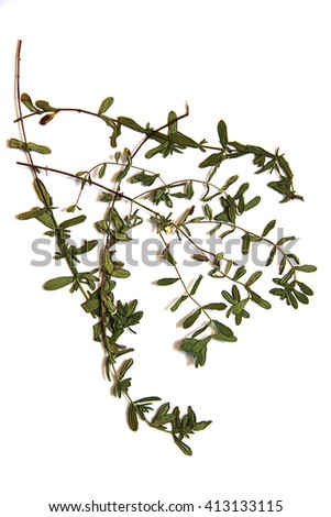 oil paint Thyme, draw of dry fall leaf, low-growing aromatic plant of the mint family isolated element for scrapbook, small leaves are used as a culinary herb, and the plant yields a medicinal oil