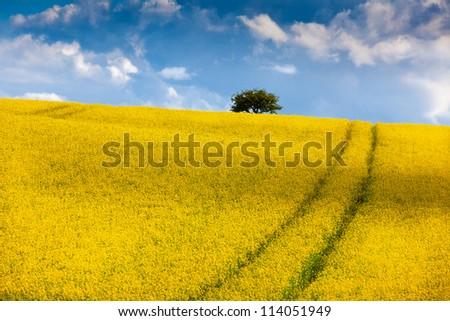 Oil seed  rape field against blue sky - stock photo