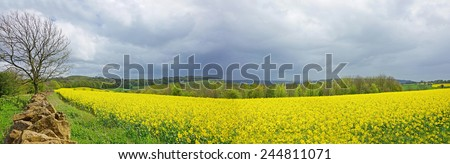 Oil seed rape field in early spring with a view of Painwick Beacon, The Cotswolds, Gloucestershire, United Kingdom Rape seed is mainly cultivated for bio fuel production. - stock photo