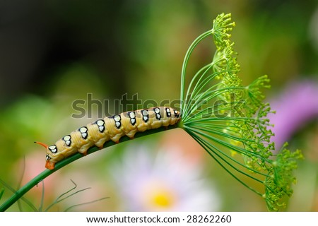"""Old lady with umbrella"" - caterpillar on fennel stem. - stock photo"