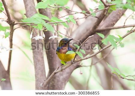 Olive-backed sunbird, Yellow-bellied sunbird - stock photo