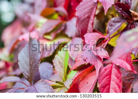 ?olorful red boston ivy leafs (Parthenoc�ssus tricuspid�¡ta) - stock photo
