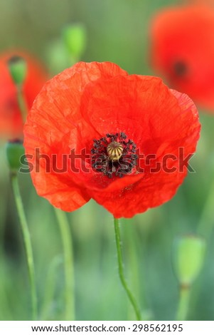 ?ommon poppy on morning meadow - stock photo