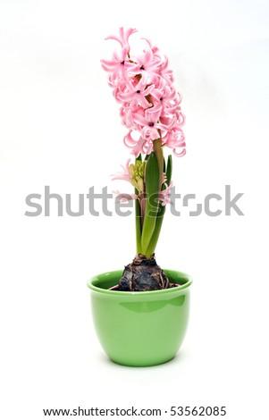 one beautiful pink hyacinth on white - stock photo