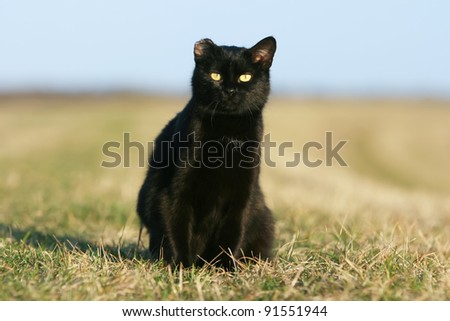 One-eared black cat at sunset. 	One eared black cat on the meadow. - stock photo