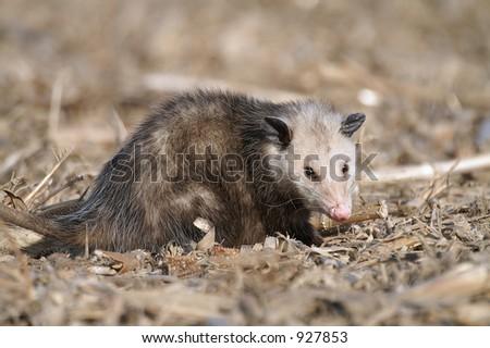 opossum in a field - stock photo