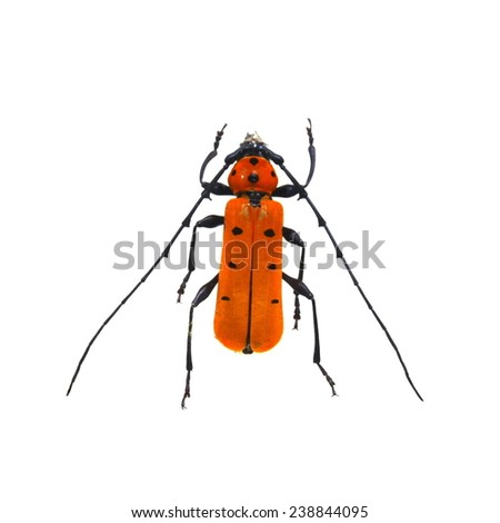 orange beetle isolated  - stock photo