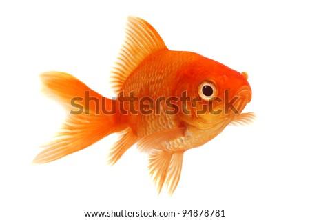 Orange Goldfish on White - stock photo