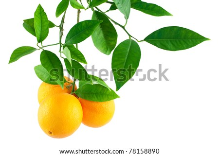 Oranges on a branch with leaves  Isolated on a white background - stock photo
