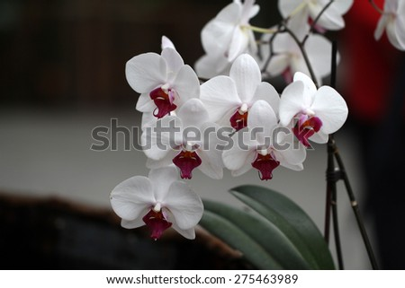 Orchid Flower / Beautiful Orchid Flower in the orchid house. - stock photo