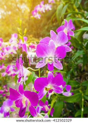 orchid flower in white-purple over the blur out greenery background, Blooming Orchids in the Garden. - stock photo