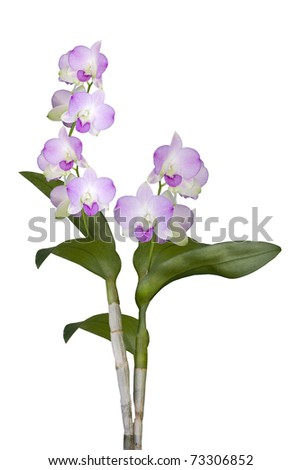 2 Orchid Stems Isolated on White - stock photo