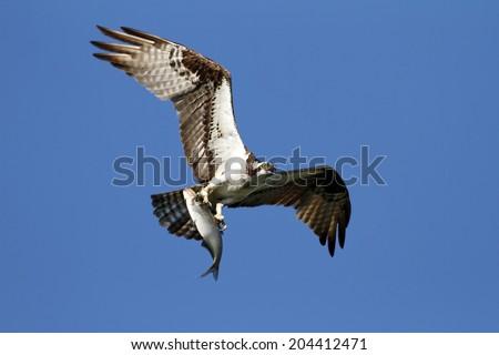 Osprey and Catch - stock photo