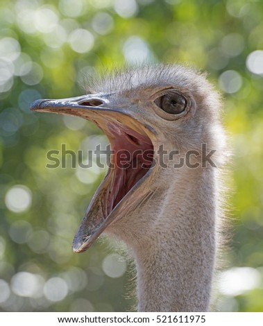 ostrich with mouth wide open.