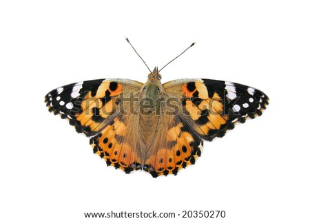 Painted Lady butterfly - isolated object