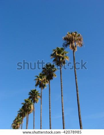 palm trees diagonally rising into the sky - stock photo