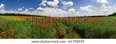 Panorama of a poppy field in bright sunny day in Russia