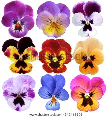 9 Pansies on White background - stock photo