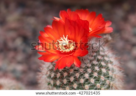"""""""Parodia Sanguiniflora"""" cactus with blooming red flower in St. Gallen, Switzerland. It is native to Argentina and Bolivia. - stock photo"""
