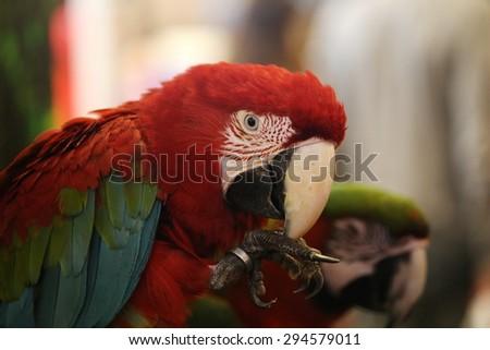parrot bird, Beautiful macaws bird - stock photo