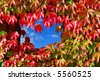 """""""parthenocissus tricuspidata veitchii"""" or """"boston ivy"""" leaves in red autumn colors on a wall with window to blue sky background - stock photo"""