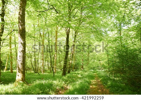 path leading through beech forest