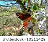 Peacock butterfly on a apple tree in blossom. Symbol of the spring season. - stock photo