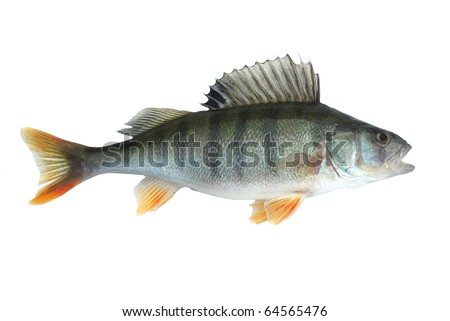 perch isolated on white background - stock photo