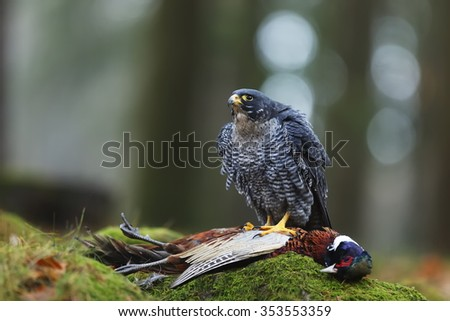 Peregrine falcon with hunted pheasant - stock photo