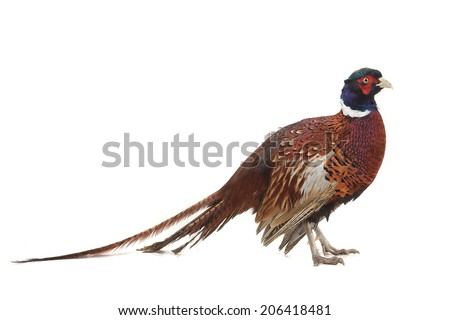 pheasant hunting is photographed in studio - stock photo