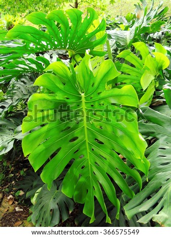 Philodendron in  fort canning park  in Singapore       - stock photo