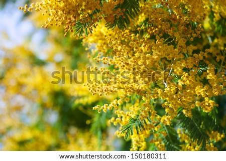 photo of yellow Acacia dealbata branches   - stock photo