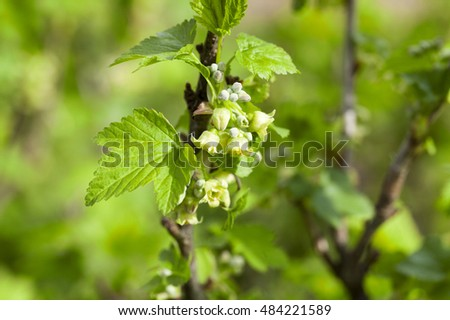 photographed close-up currant flowers in spring season