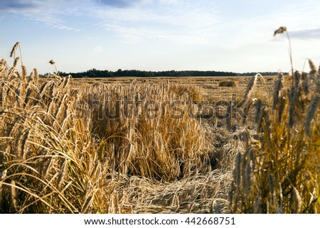 photographed close-up field in which the element is destroyed mature wheat - stock photo