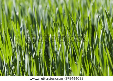 photographed close up green leaves of wheat. close-up. Spring - stock photo