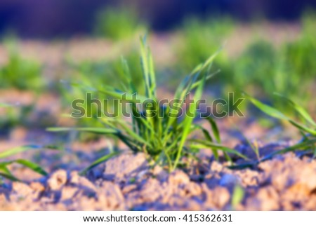 photographed close-up of young green wheat shoots in the drops of dew, defocused - stock photo