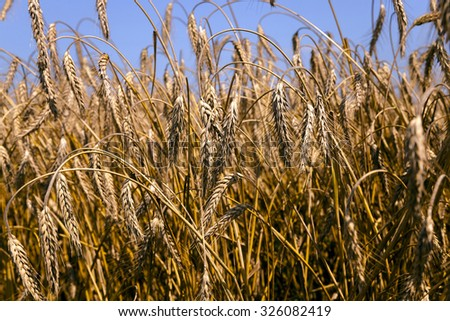 photographed close-up ripe rye, ready for harvest - stock photo