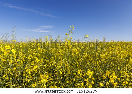 photographed close-up yellow flower of rape growing in an agricultural field