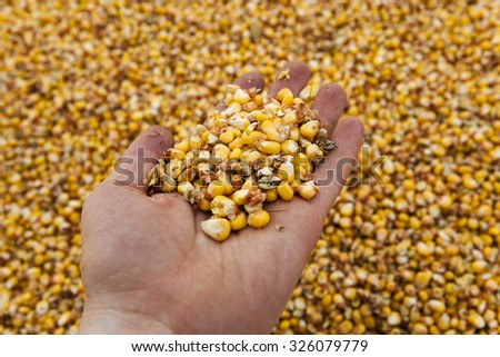 photographed ripe yellow corn during harvest corn - stock photo