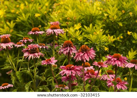 Pink and Yellow Echinacea flowers against a soft focus green background - stock photo