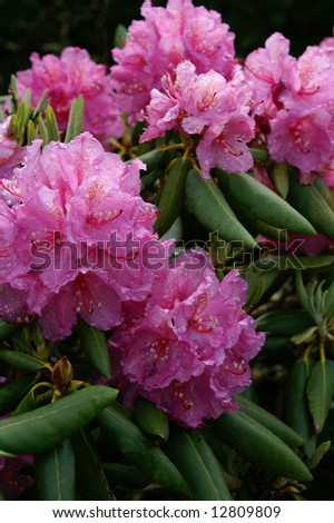 Pink Catawba Rhododendron (Rhododenron catawbinese) Vertical - stock photo