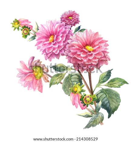Pink Dahlias  Flowers  . Garland, Watercolor hand painted illustration  - stock photo