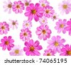 pink flowers isolated  on a white background. Cosmea - stock photo